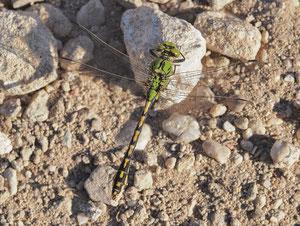 Grüne Flussjungfer. Diese Libelle ist eine der Selteneren. Sie verlangt sehr saubere Bäche mit Sandboden zur Vermehrung.