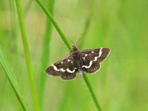 Noch ein Zünsler: Pyransta nigrata - einen deutschen Namen gibt es für dieses Tier nicht.