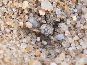 Dieser freundliche Zeitgenosse ist ein Ameisenlöwe. Er sitzt am Grund eines Sandtrichters, fällt eine Ameise hinein bewirft er sie solange mit Sand bis er sie greifen kann.