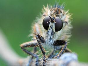 Porträt der Säbelraubfliege. Für andere Insekten ein schlechter Anblick.
