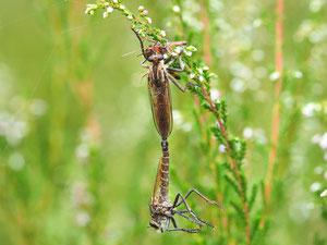 Bei der Paarung erhält das Weibchen ein Brautgeschenk zur Ablenkung.