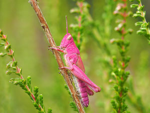 Dies ist kein Fake: Diese Farbvariation kommt bei vielen Schreckenarten vor, insbesondere bei den Nachtigallenschrecken.