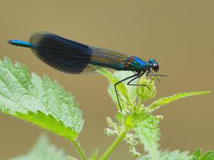 Eine männliche gebänderte Prachtlibelle. Der Flugstil dieser Libellen erinnert an Schmetterlinge.