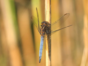 Ein männlicher kleiner Blaupfeil