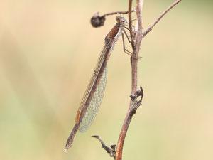 Winterlibellen sind die einzigen heimischen Libellen die als ausgewachsens Tier überwintern.