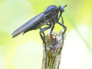 Schwarze Tanzfliege
