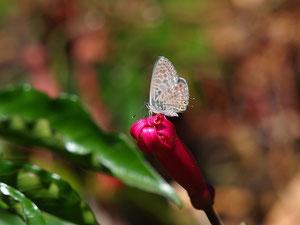 Ein seltener Gast bei uns: Der kleine Wanderbläuling (Hier ein Exemplar von Teneriffa).