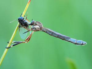 Eine weitere gemeine Schlankfliege, diesmal ein Weibchen.