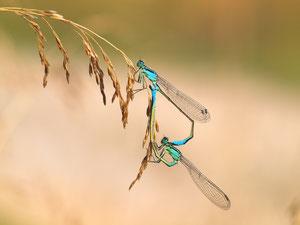 Grosse Pechlibellen bei der Paarung.