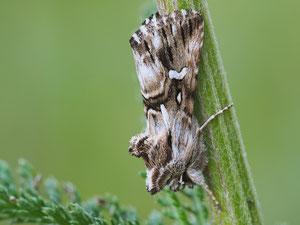 Möndcheneule. Sie zeigt ein kleines Möndchen in der Zeichnung der Flügel.