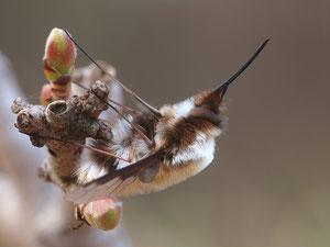 Ein grosser Wollschweber. Leicht an der Flügelmusterung zu erkennen.