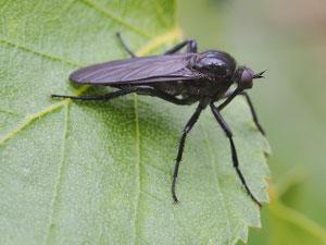 Die folgenden Fliegen gehören nicht zu den Raubfliegen: Die schwarze Tanzfliege sieht ähnlich aus und lebt ebenfalls räuberisch.