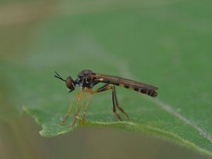 Die zierliche Habichtsfliege ist eine sehr kleine Art. Schwer zu finden da man sie aus der Entfernung mit einer kleinen Schwebfliege verwechselt.