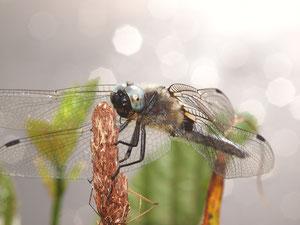Ein Spitzenfleck Männchen. Bei den Männchen ist der Fleck an den Flügelenden meist kaum ausgeprägt.