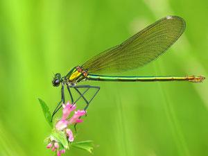 Eine weibliche gebänderte Prachtlibelle. Die Weibchen sind allerdings bei den Prachtlibellen nicht zu unterscheiden - ausser man beobachtet die zugehörigen Männchen.