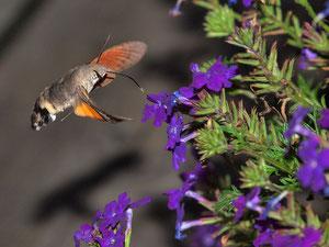 Taubenschwänchen saugen in schnellem Schwirrflug Nektar aus Blüten.