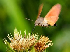 Manchmal fliegt im garten ein Kolibri umher. Seien Sie sicher, es ist kein Vogel.