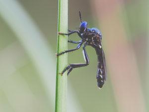 Das Männchen der schwarzen Habichtsfliege