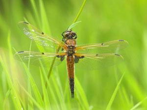 Eine Vierflecklibelle kurz nach dem Verlassen des Wassers.