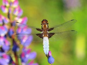 Ein Plattbauch, männlich. diese Libellen sind meist sehr kooperativ.