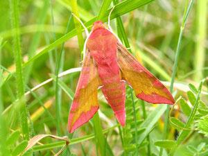 Kleine Weinschwärmer ruhen gerne in hohem Gras und sind deswegen trotz der auffälligen Farbe unsichtbar.