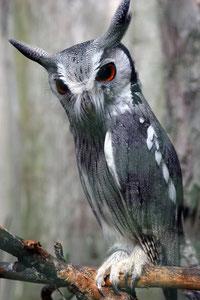 Hibou - Petit Duc - Le Bois des Aigles