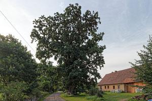 Eiche in Wakendorf
