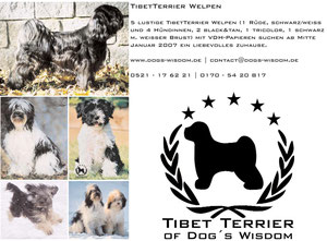 Tibet Terrier of Dog´s Wisdom [ A-Wurf]