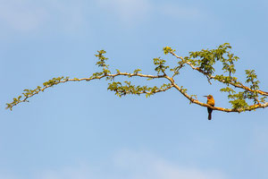 Weißstirnspint (Merops bullockoides) / White-fronted Bee-eater
