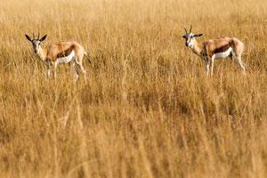 Springbock (Antidorcas marsupialis) / Springbok