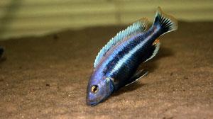 Melanochromis chipokae самец