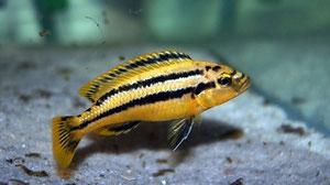 Melanochromis chipokae самка