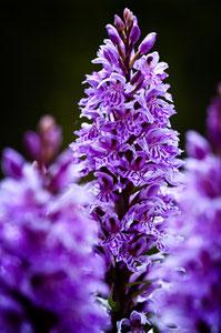 Knabebkraut-Orchidee