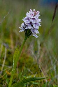 Knabenkraut-Dactylorhiza maculata 2