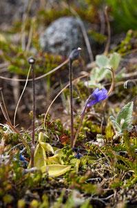 Gemeines Fettkraut -Pinguicula vulgaris 2
