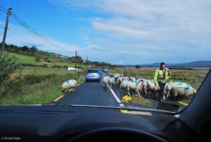 Rencontre d'un troupeau de moutons sur une route du comté de Sligo en Irlande