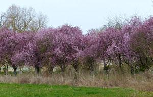 Prunus-P1070932