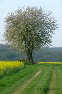 Le cerisier-P1020852