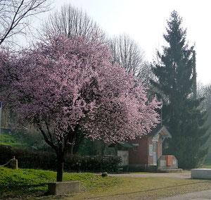 Cerisier-et-cabane-P1080288
