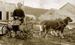 ротвейлер начала прошлого века
