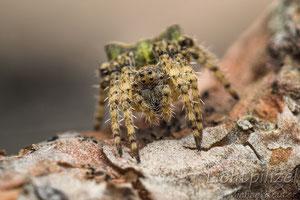 Grüne Buckelkreuzspinne (Gibbaranea gibbosa), ♀