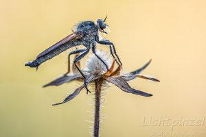 Barbarossafliege (Eutolmus rufibarbis) ♂