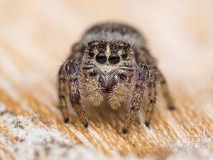 Macaroeris nidicolens, ♀