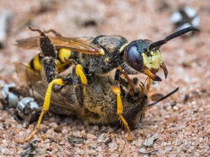 Bienenwolf (Philanthus triangulum) mit Honigbiene (Apis mellifera)