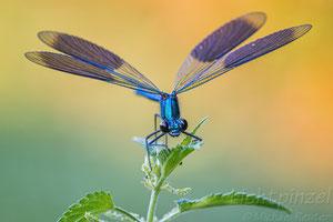 Gebänderte Prachtlibelle (Calopteryx splendens) ♂