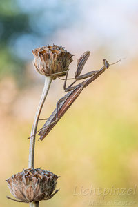 Europäische Gottesanbeterin (Mantis religiosa)  ♀