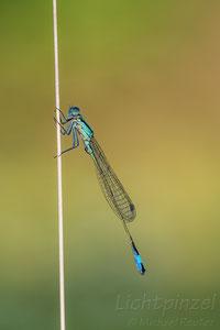 Große Pechlibelle (Ischnura elegans), ♂