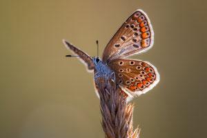 Hauhechel-Bläuling (Polyommatus icarus), ♀