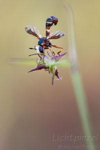 Dickkopfliege (Conopidae)