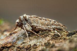 Weißgrauer Breitflügelspanner (Agriopis leucophaearia), ♀